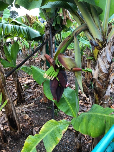 A young bunch of bananas growing from the onsite plantation.